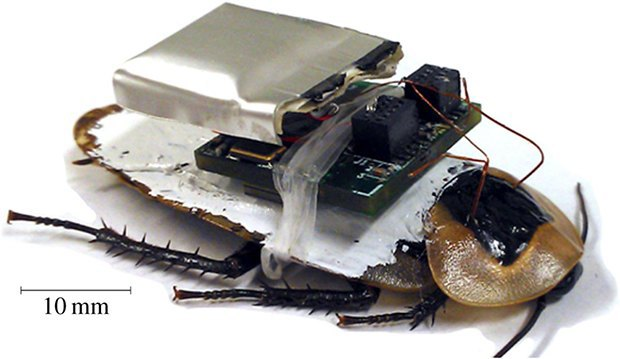 Discoid cockroach with attached electronic backpack (battery on top, board attached to the forewings). The electrodes enter the body through the pronotum. (Online version in colour.) Image: Texas A&M. Image 1.