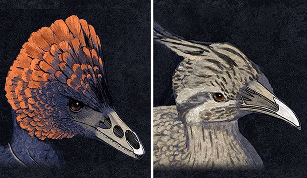 On the left, an artist's rendition of the dinosaur Anchiornis, on the right, an artist's rendition of a primitive modern bird. In both, you can see the structure of the snout. Image via PopSci.com