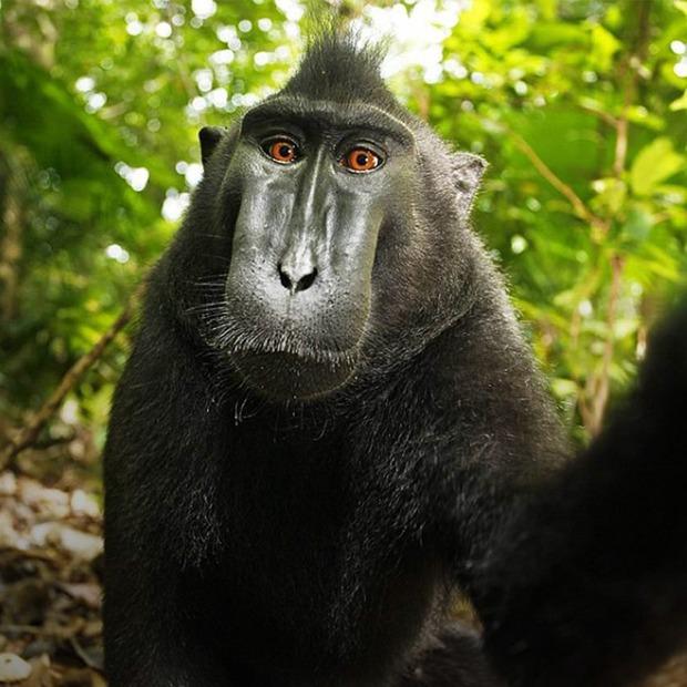 Почему «Википедия» защищает права обезьяны-фотографа — Как это работает на Look At Me