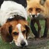 Самая худшая охотничья собака