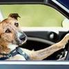 Новозеландских собак научат водить машину