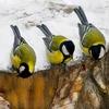 Латвийские птицы клювами пишут в твиттер
