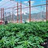 В США легализовали марихуану