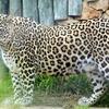 Авиакомпания «Трансаэро» осуществила перевозку двух леопардов