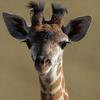 Зоопарк Цинциннати транслировал рождение жирафа в Twitter