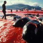 Убийство дельфинов в Дании