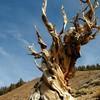 Искусство природы. Старейшие деревья в мире