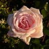 Её величество розы