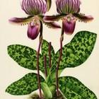 Глянцевые орхидеи: слухи, сплетни, комментарии