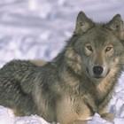 Шон Эллис- человек волк