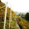 Горный виноград Nebbiolo