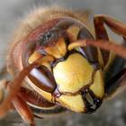 Большая война в маленьком мире пчел и шершней