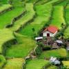 Где рис сажают тысячи лет…