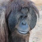 Орангутана-тест