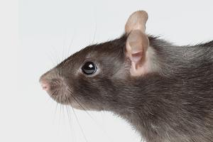 Исследование: что видят во сне крысы