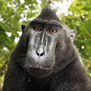 Почему «Википедия» защищает права обезьяны-фотографа