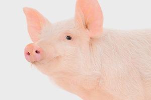 Головоломка на выходные: свиньи в загоне