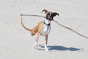 Собака научилась бегать на двух ногах