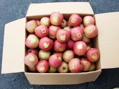 ВЯпонии вырастили яблоки Apple. Изображение № 1.