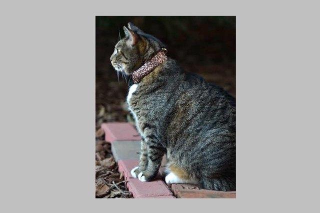 Кот Скитзи в ошейнике WarKitteh. Изображение № 1.