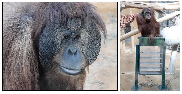 Орангутана-тест. Изображение № 5.