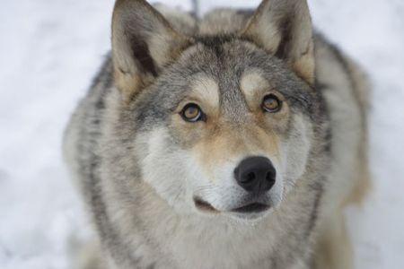 Весьегонская волчица (2004). Изображение № 5.
