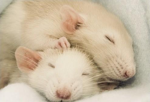 Фотосессия крысят отJessica Florence. Изображение № 8.