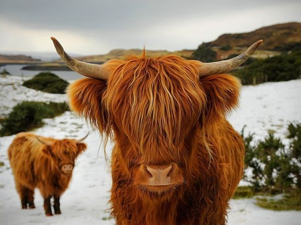 Highland Cattle, Scotland. Изображение № 17.