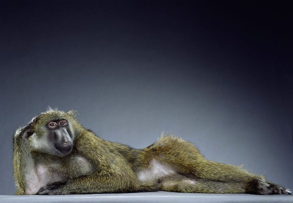 "Jill Greenberg ""Monkey portraits"". Изображение № 6."