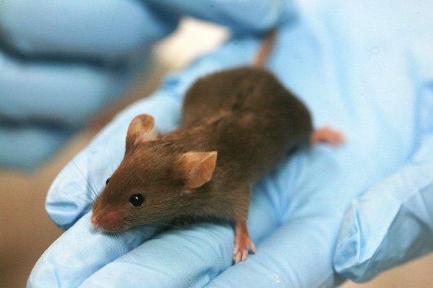 Лабораторные мыши боятся мужчин. Изображение № 1.
