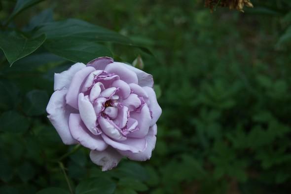 Её величество розы. Изображение № 3.