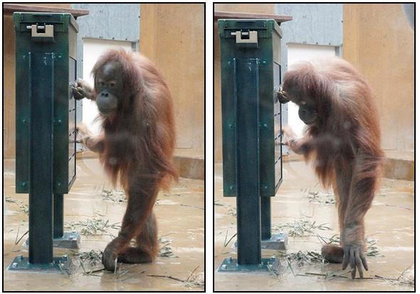 Орангутана-тест. Изображение № 2.