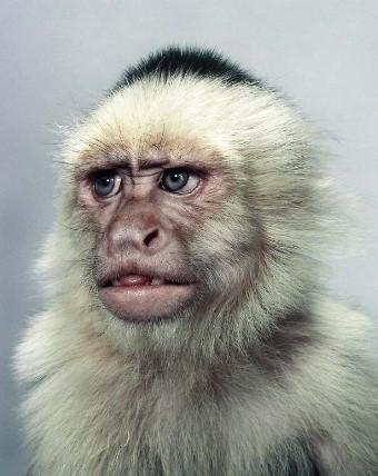 """Jill Greenberg """"Monkey portraits"""". Изображение № 36."""