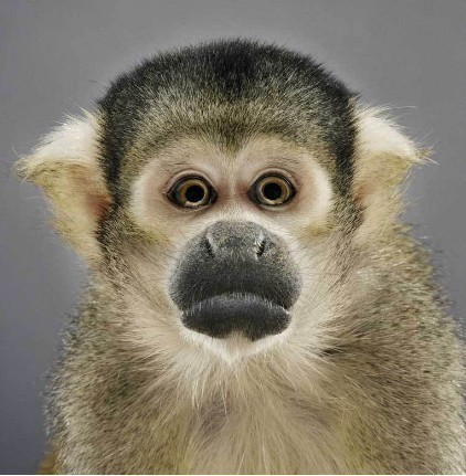 "Jill Greenberg ""Monkey portraits"". Изображение № 56."