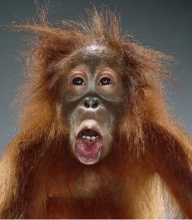 """Jill Greenberg """"Monkey portraits"""". Изображение № 14."""