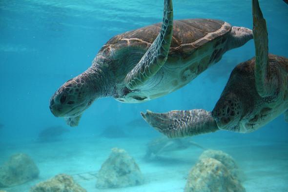 Изображение 4. Okinawa Churaumi Aquarium.. Изображение № 4.