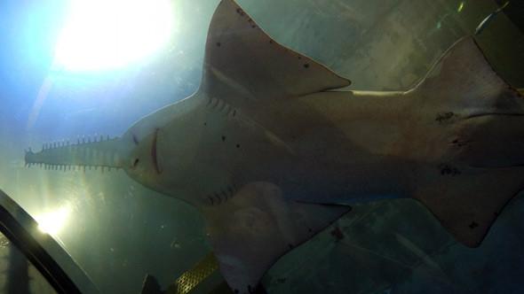 Universeum. Большая пилорылая акула проплывает прямо над головой. Изображение № 8.