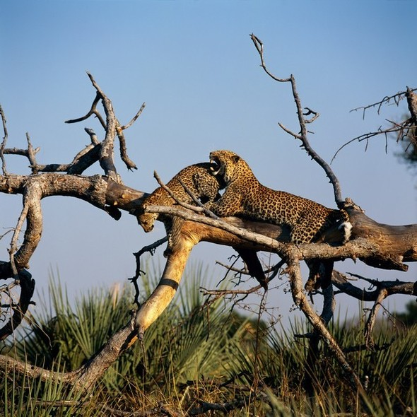 Лев. Леопард. Африка. Изображение № 7.
