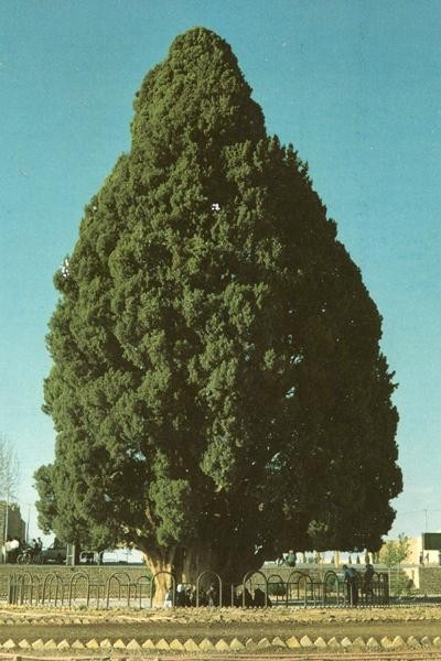 Искусство природы. Старейшие деревья в мире. Изображение № 6.