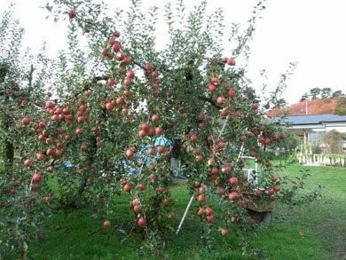 ВЯпонии вырастили яблоки Apple. Изображение № 2.