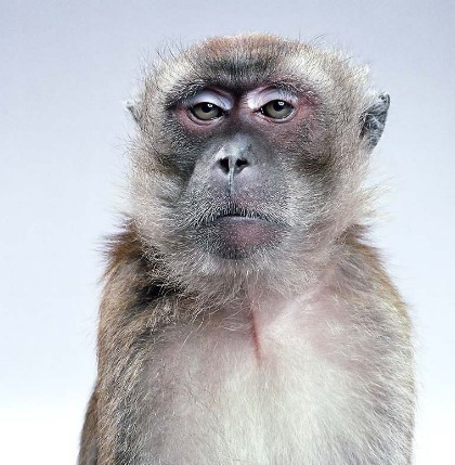 "Jill Greenberg ""Monkey portraits"". Изображение № 43."