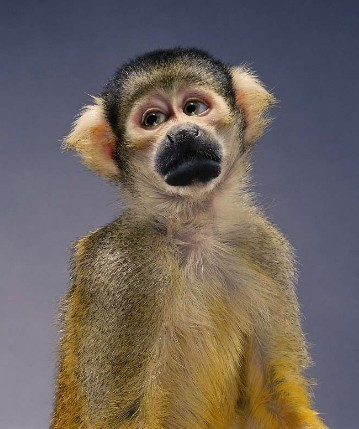 "Jill Greenberg ""Monkey portraits"". Изображение № 28."