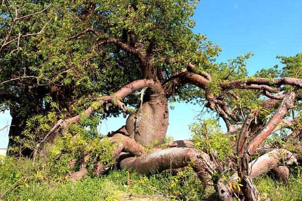 Остров баобабов в Ботсване. Изображение № 6.