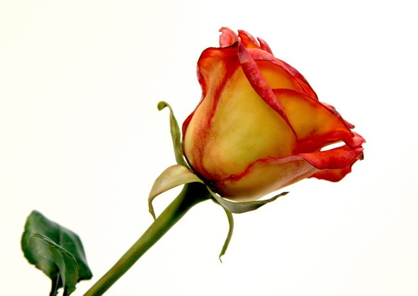Керамическая флористика. Цветы из глины, ручная работы. Изображение № 1.