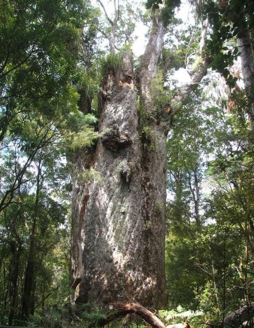 Искусство природы. Старейшие деревья в мире. Изображение № 12.