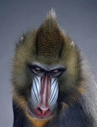 "Jill Greenberg ""Monkey portraits"". Изображение № 46."