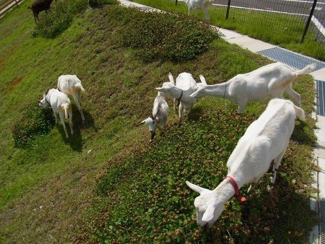 В японском Amazon работают настоящие козы . Изображение № 3.