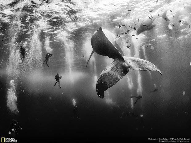Первое место: дайвинг с горбатыми китами и их детёнышем у островов Ревилья-Хихедо (Мексика) / Автор: Anuar Patjane. Изображение № 1.