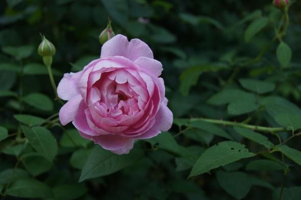 Её величество розы. Изображение № 1.