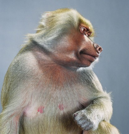 "Jill Greenberg ""Monkey portraits"". Изображение № 29."